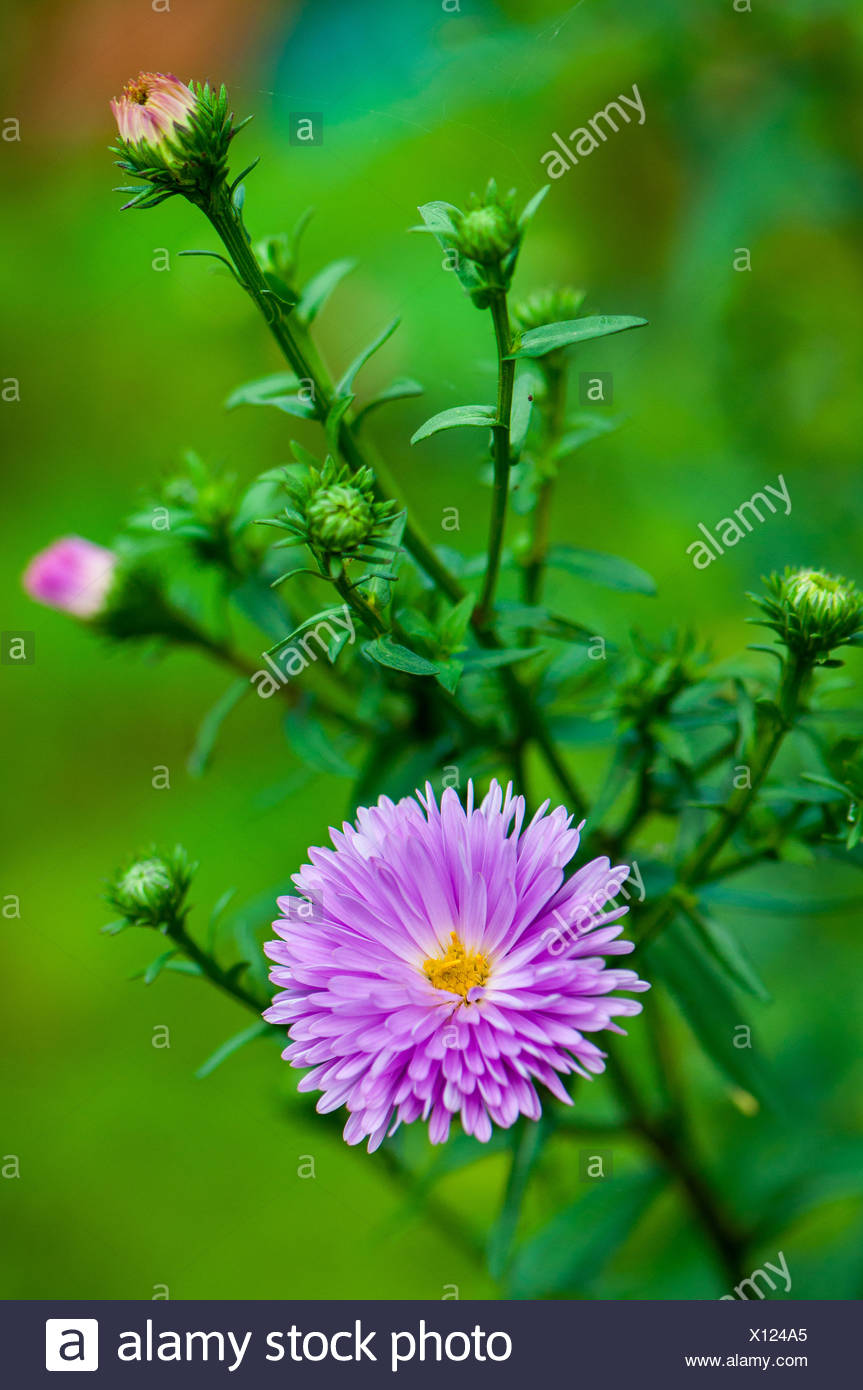 Aster 'Eventide' in bloom in a garden - Stock Image