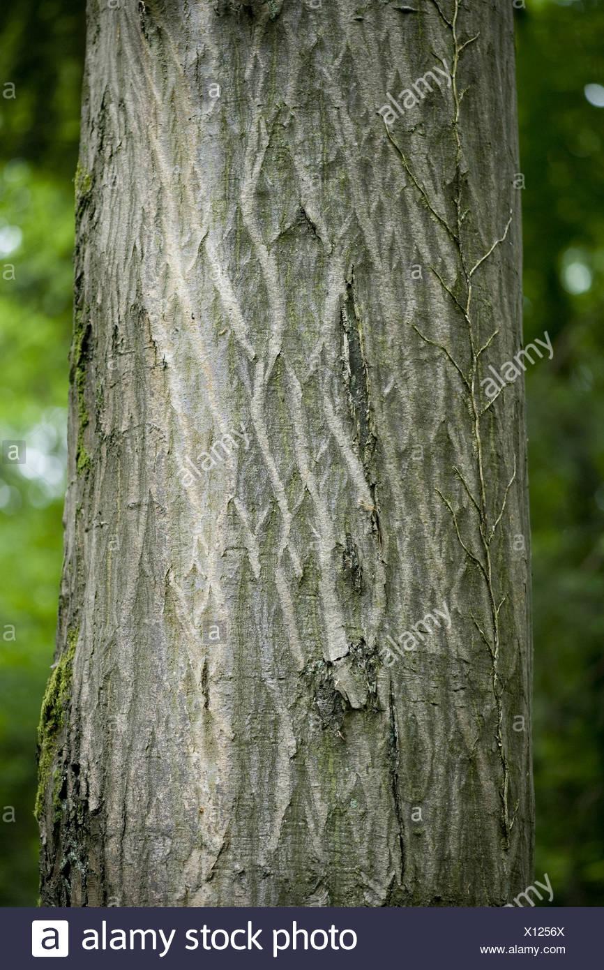 common hornbeam, carpinus betulus - Stock Image