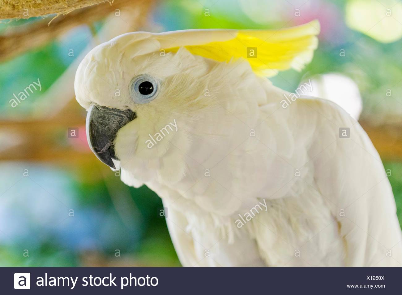 white cockatoo (Cacatua alba), Park, Villahermosa, Tabasco, Mexico, America - Stock Image