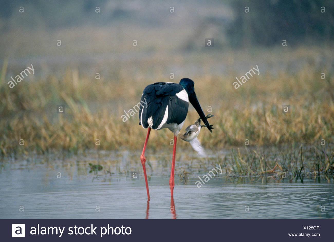 Black necked stork eating little grebe (Tachybaptus ruficollis), Keoladev national park, Bharatpur, Rajasthan, India - Stock Image