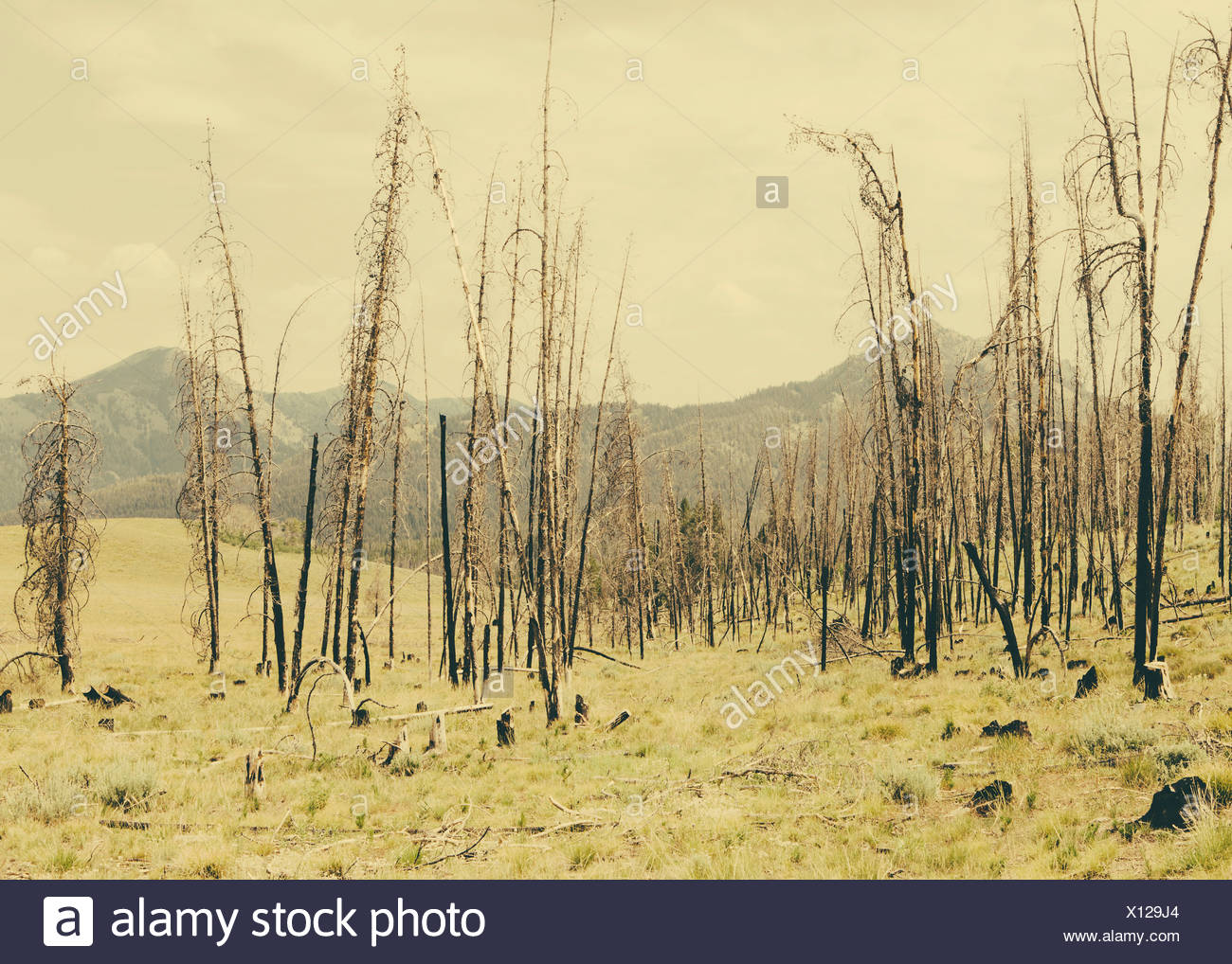 Fire damaged trees and forest in Payette National Forest in Valley County, Indiana. - Stock Image