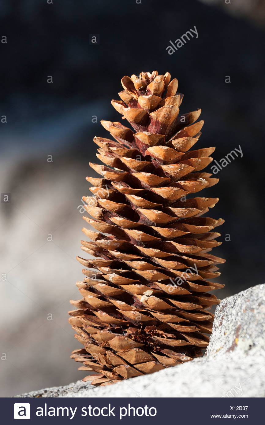 Close Up Of Large Pine Cone On A Rock; Palm Springs, California, United States of America - Stock Image