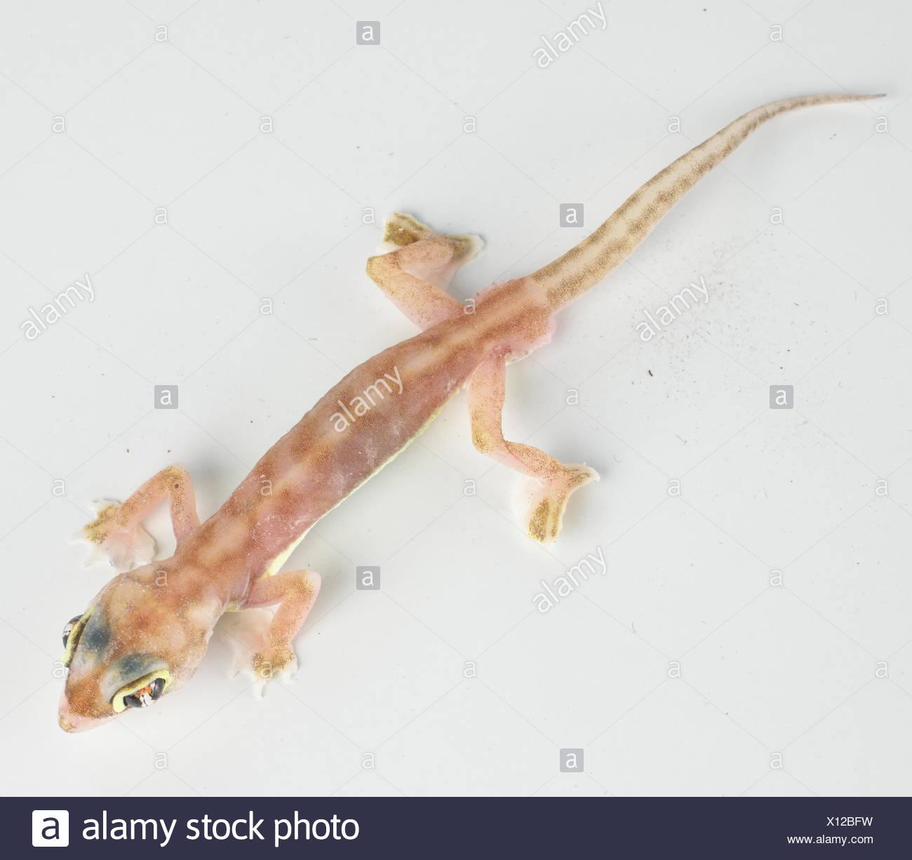 Web-footed gecko (Palmatogecko rangei) Stock Photo