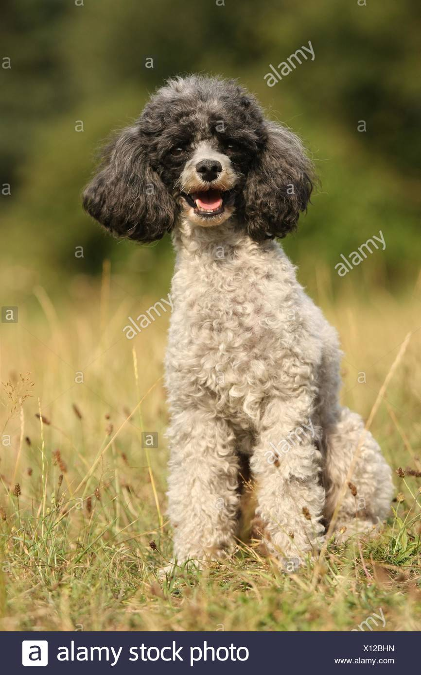 Black And White Miniature Poodle Dog Stock Photos & Black And White