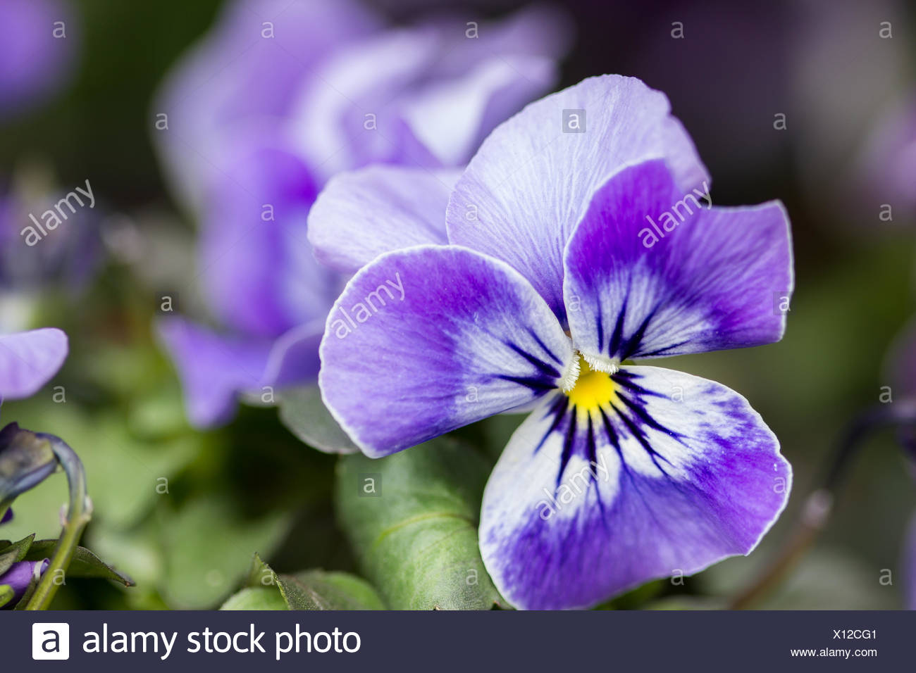 pansy - Stock Image