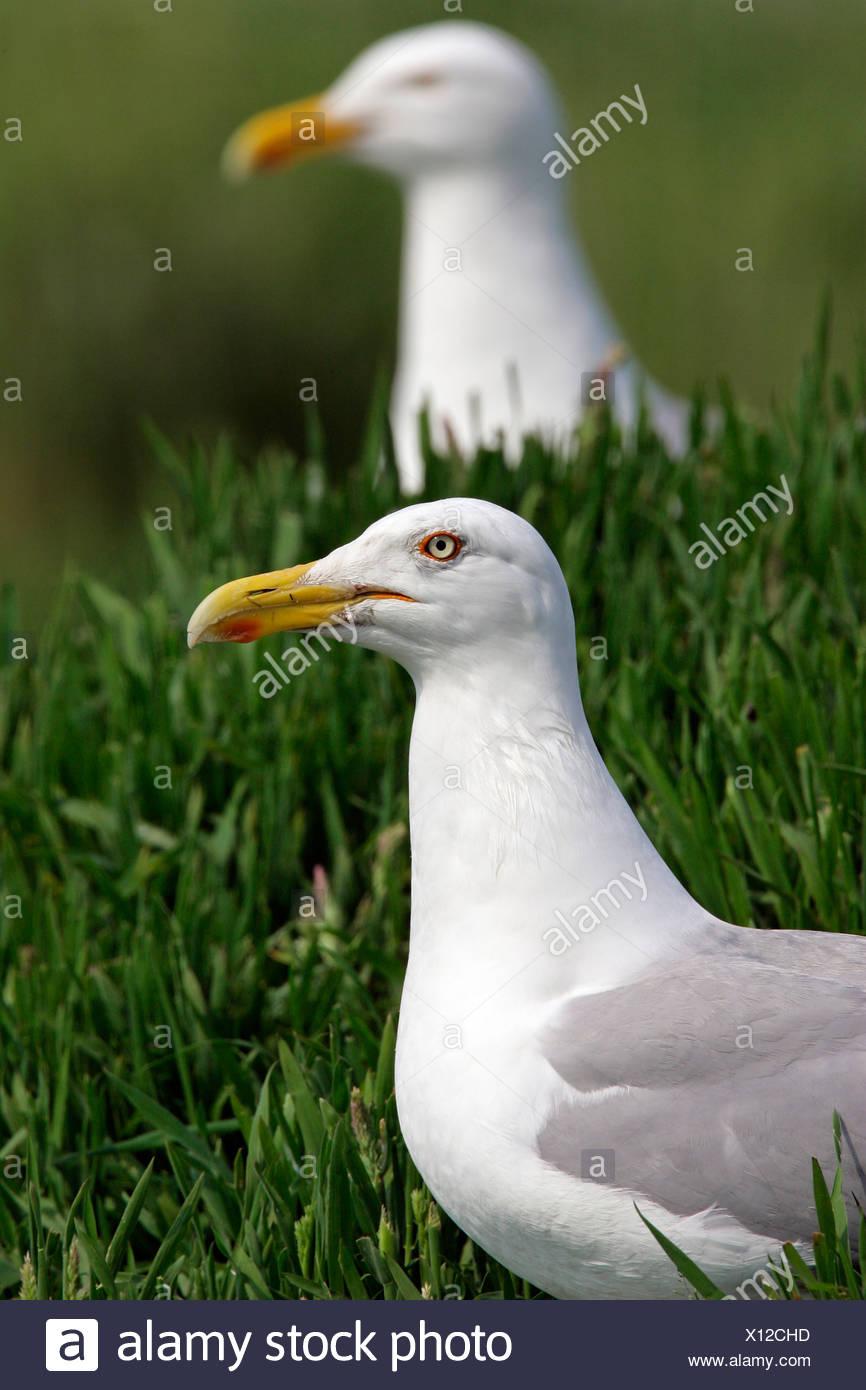 Herring gull - herring gulls (Larus argentatus) Stock Photo