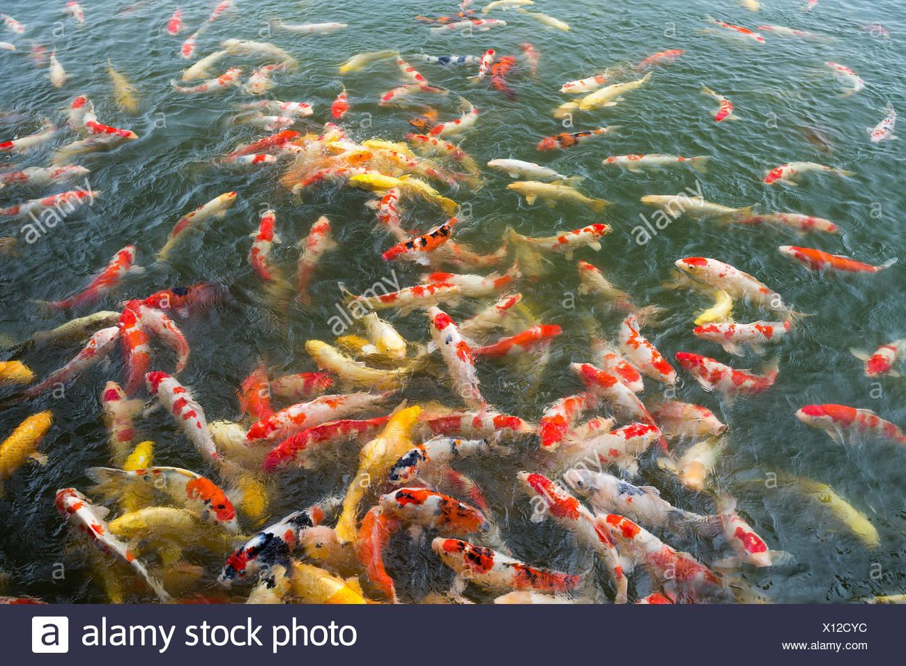 Pet Gold Fish Stock Photos Amp Pet Gold Fish Stock Images