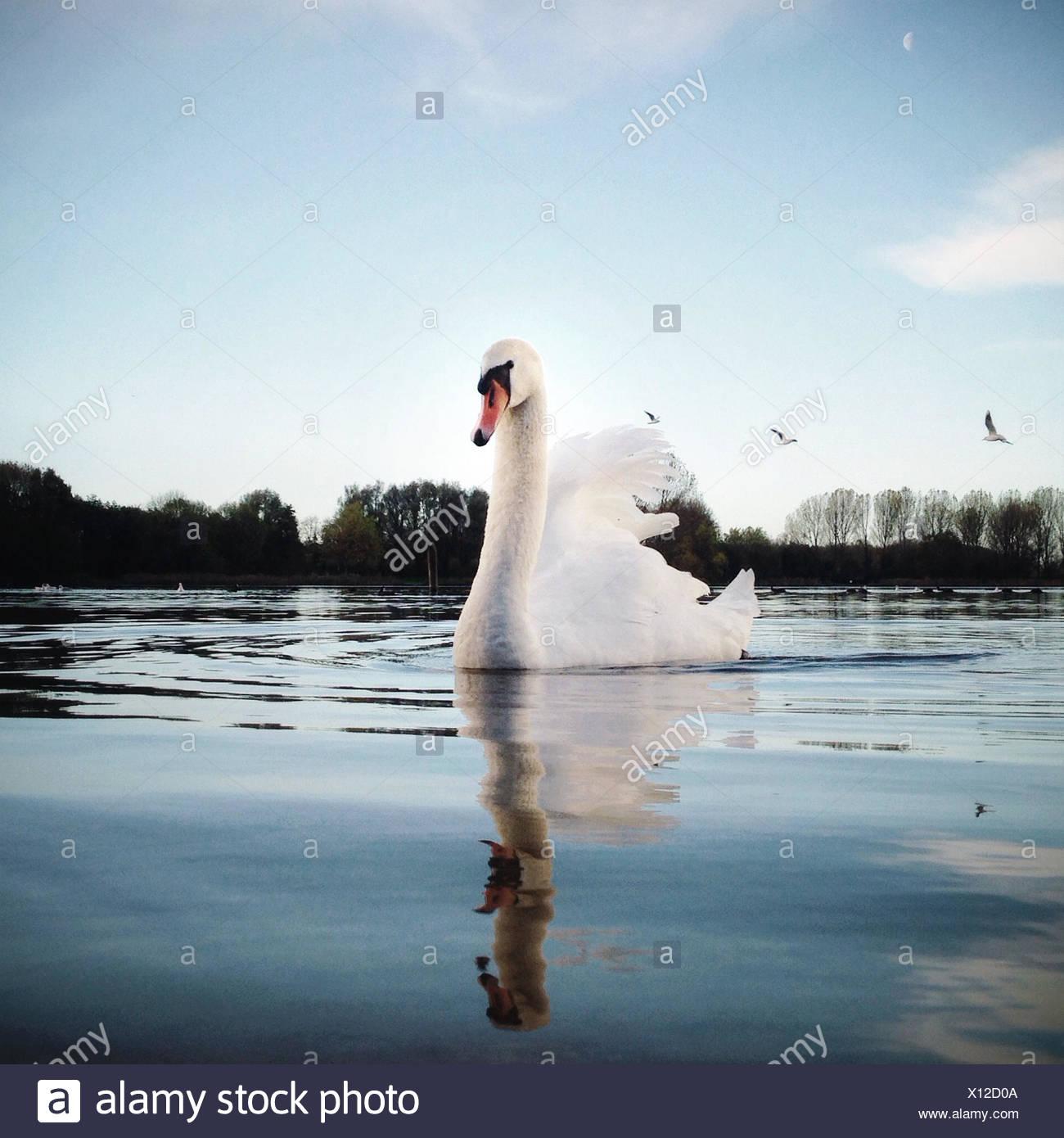 Portrait of swan swimming on lake - Stock Image