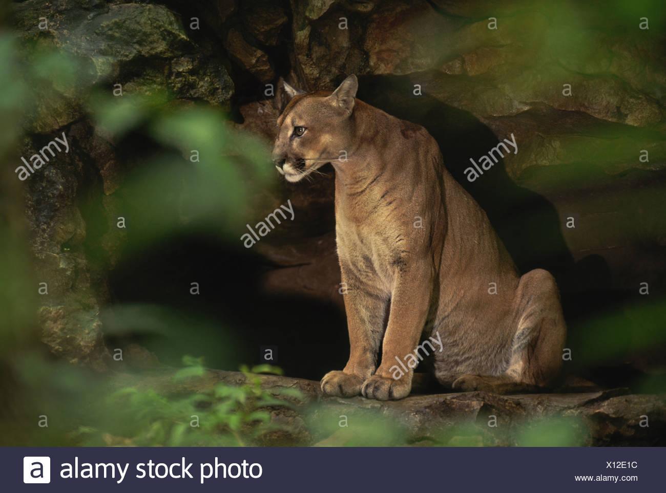 Chiapas Mexico Cougar in cave Pumconcolor Chiapas Mexico - Stock Image