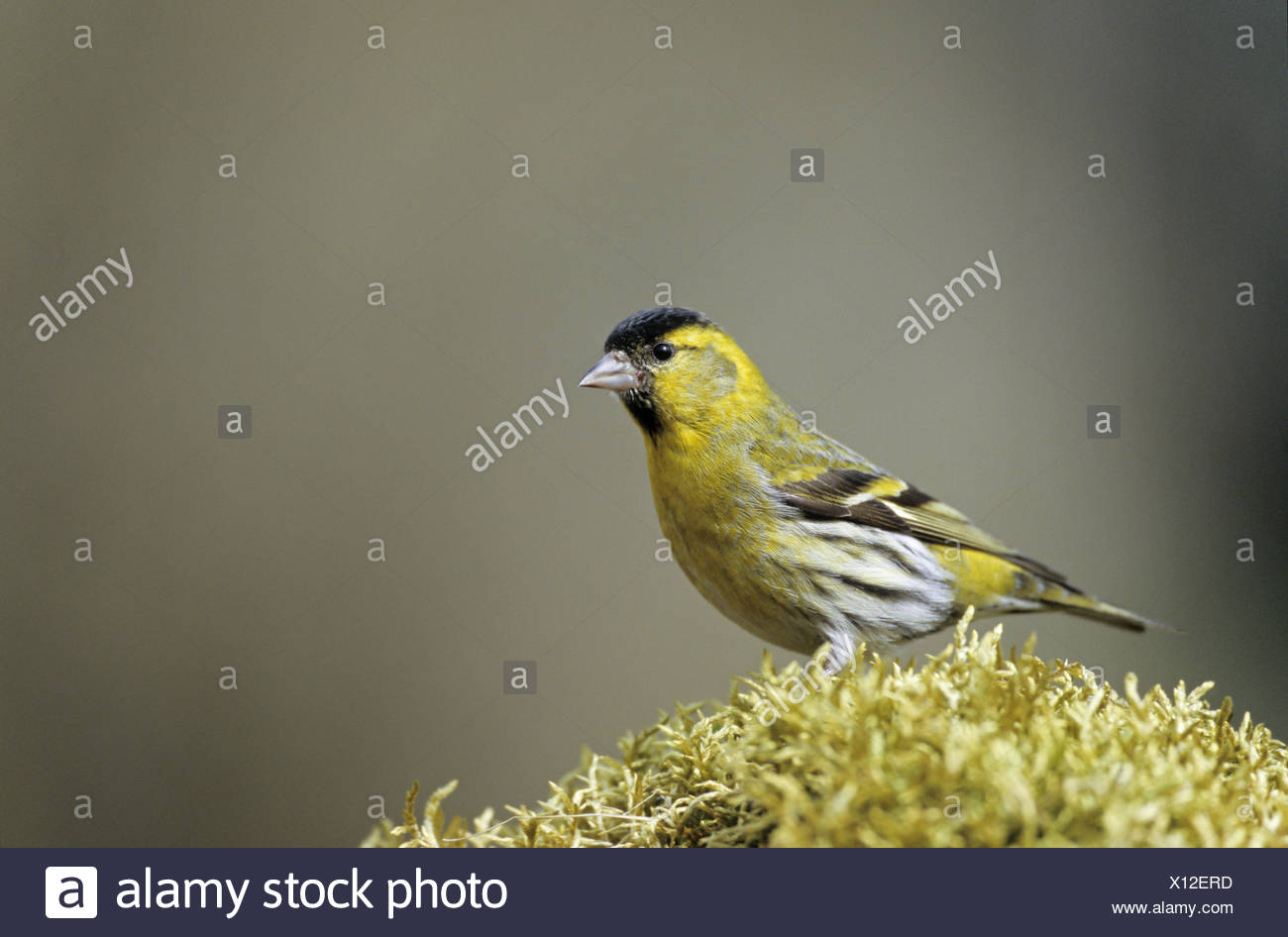 Siskin adult male sits on a moss pad Stock Photo