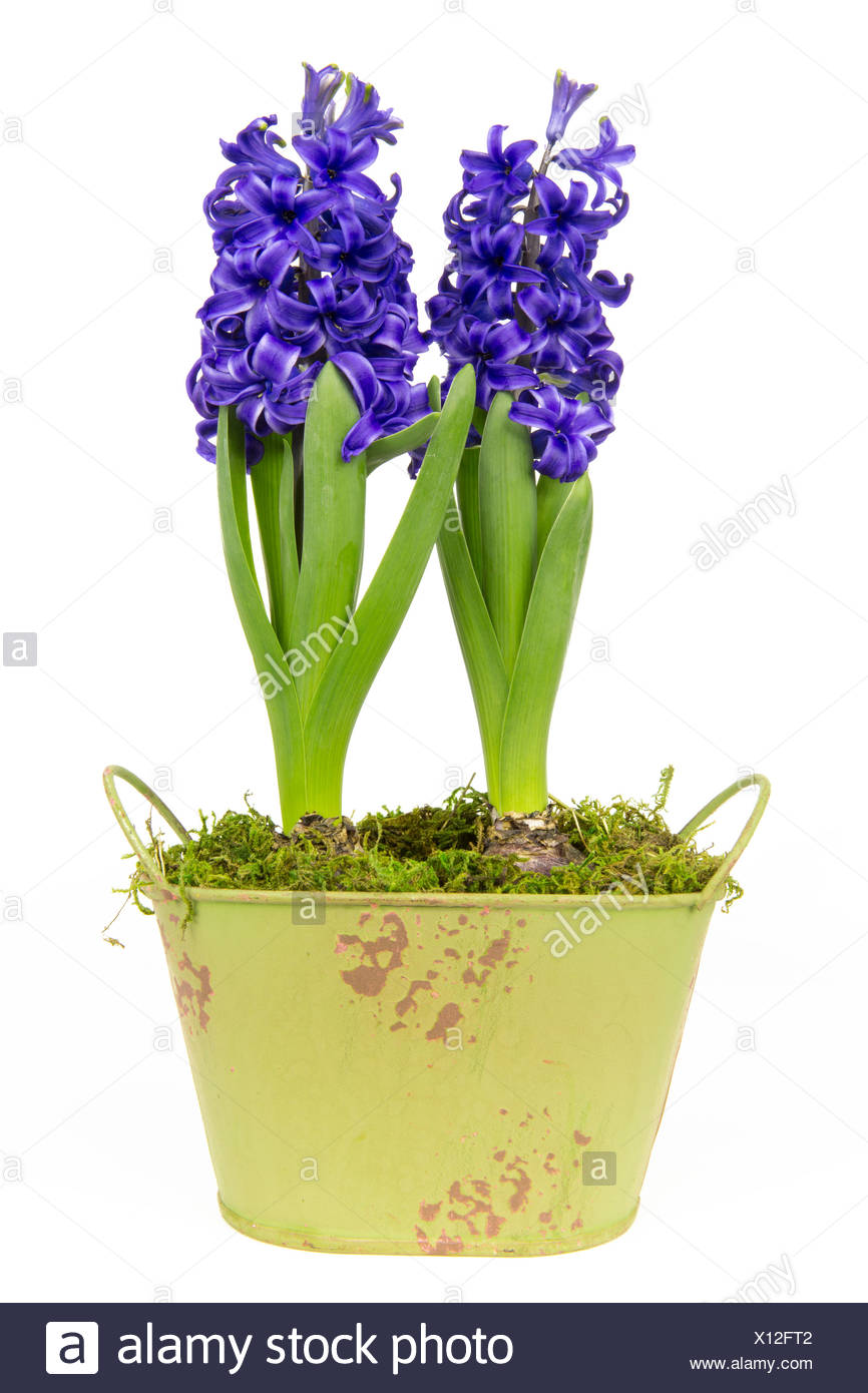 blue hyacinth 5 Stock Photo