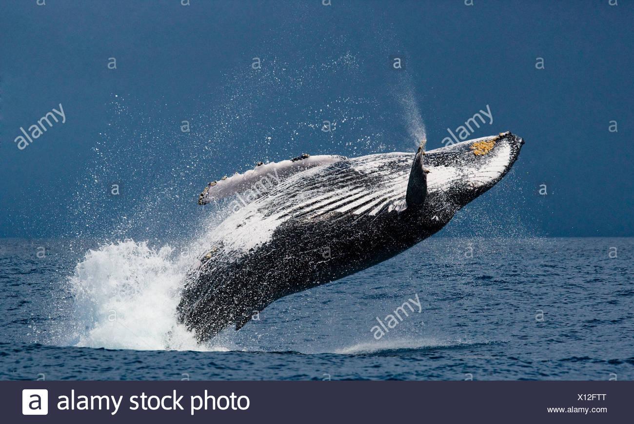 Breaching humpback whale, St. Marie Island, Madagascar (Megaptera novaeangliae) - Stock Image