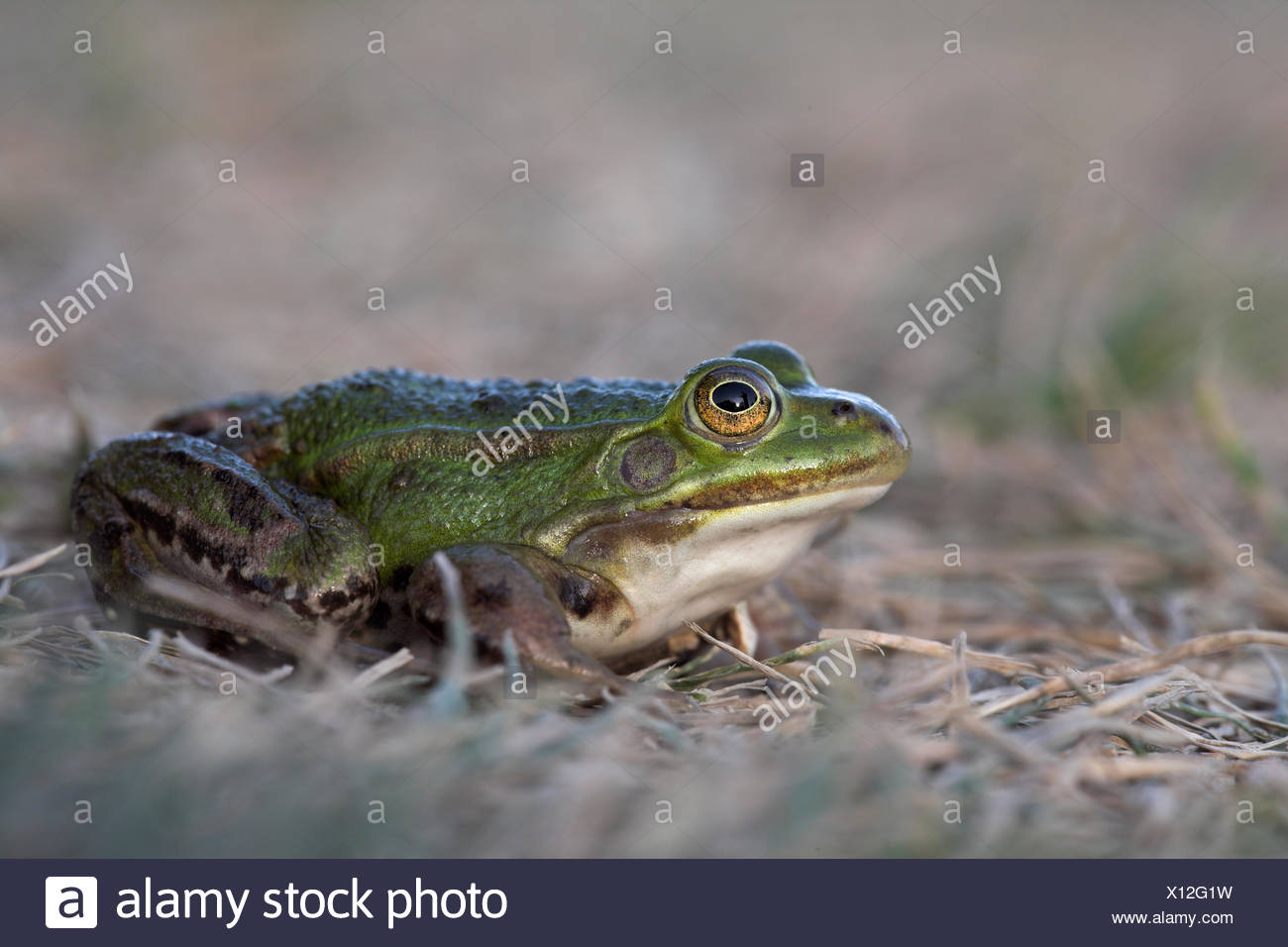 pool frog on golf course - Stock Image