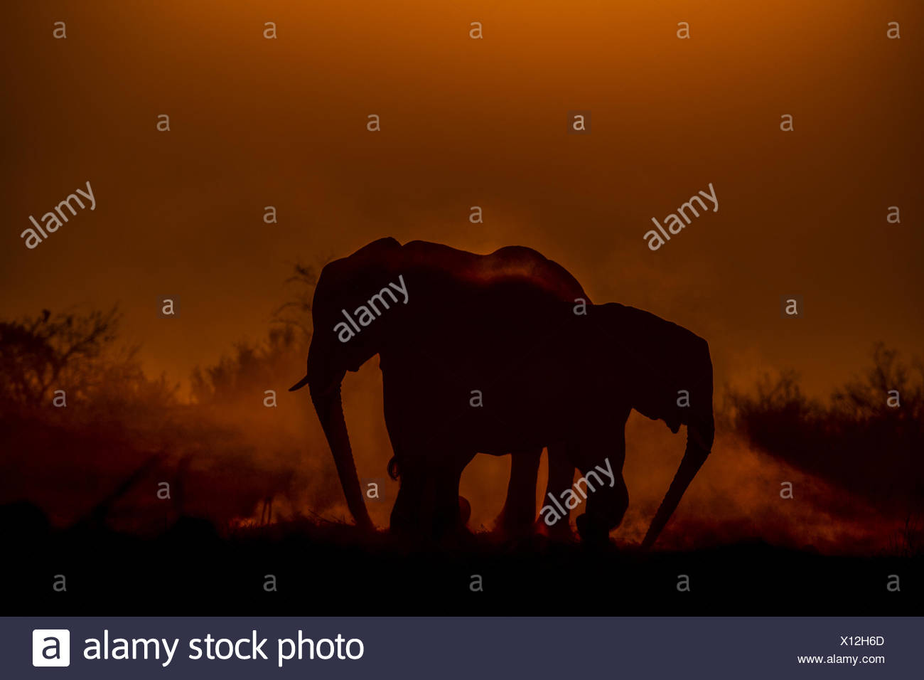 Two elephants, Loxodonta africana, dusting as the sun sets. - Stock Image