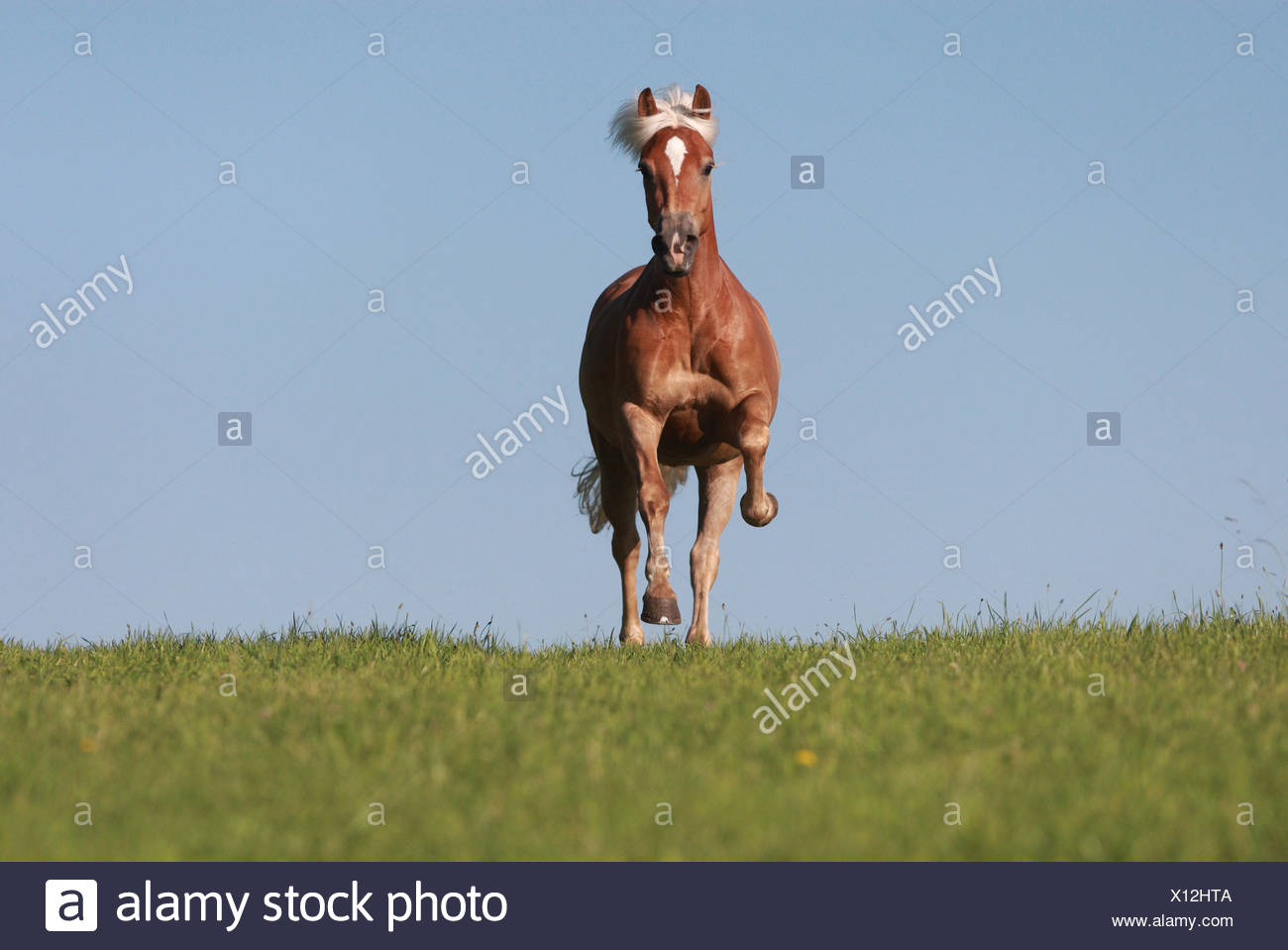 Oberoderwitz, Germany, Haflinger gallop on pasture - Stock Image