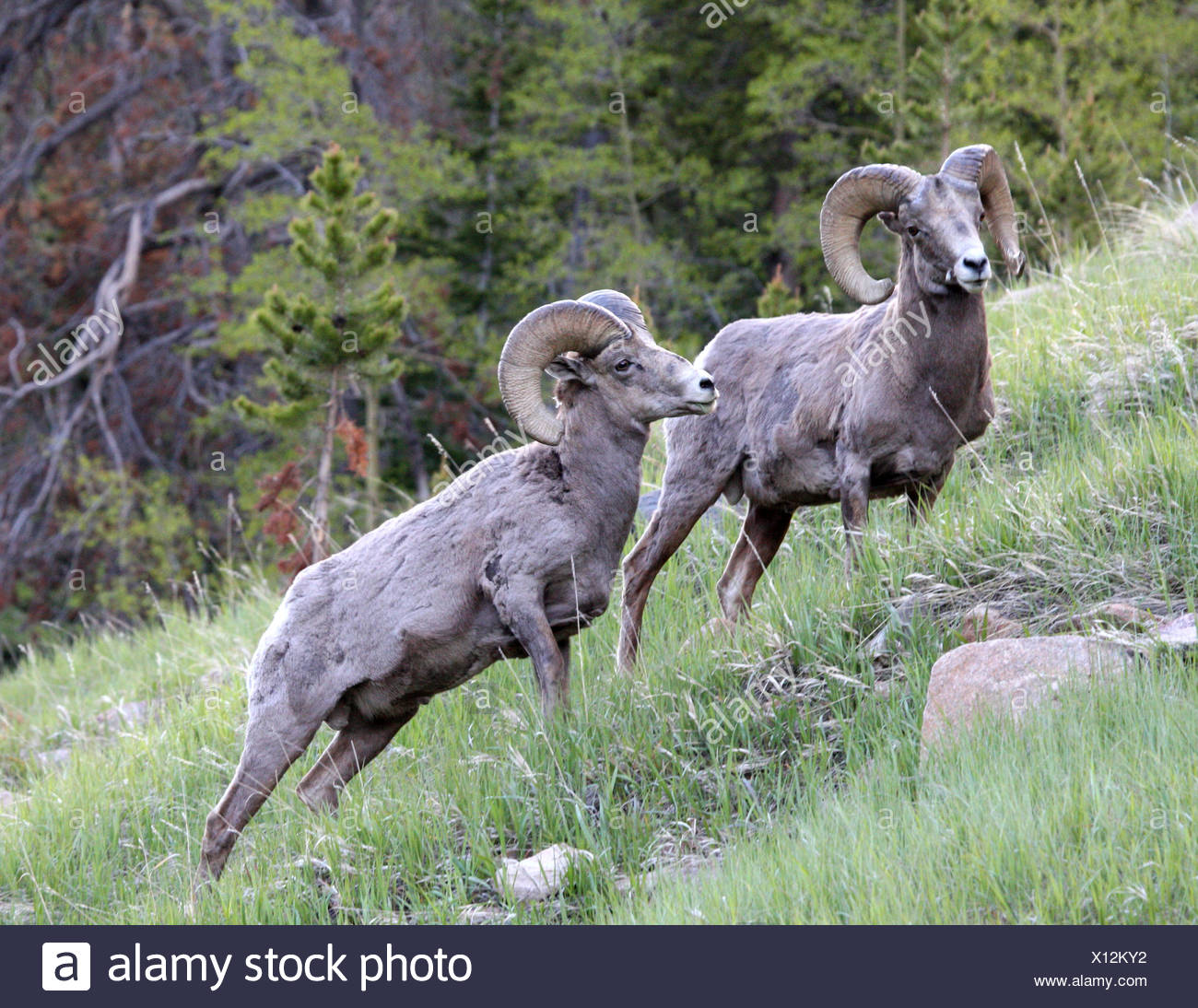 Ram Billy Goat Rams High Resolution Stock Photography And Images Alamy
