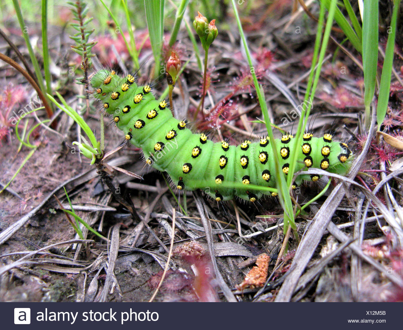 emperor moth (Saturnia pavonia, Eudia pavonia), caterpillar on the ground between Drosera, Germany, North Rhine-Westphalia - Stock Image