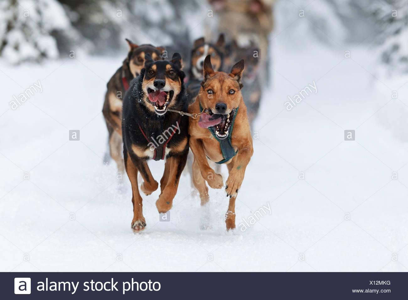 Marvin Kokrine's dogs running in the 2011 ExxonMobil Open, Southcentral Alaska, Winter - Stock Image