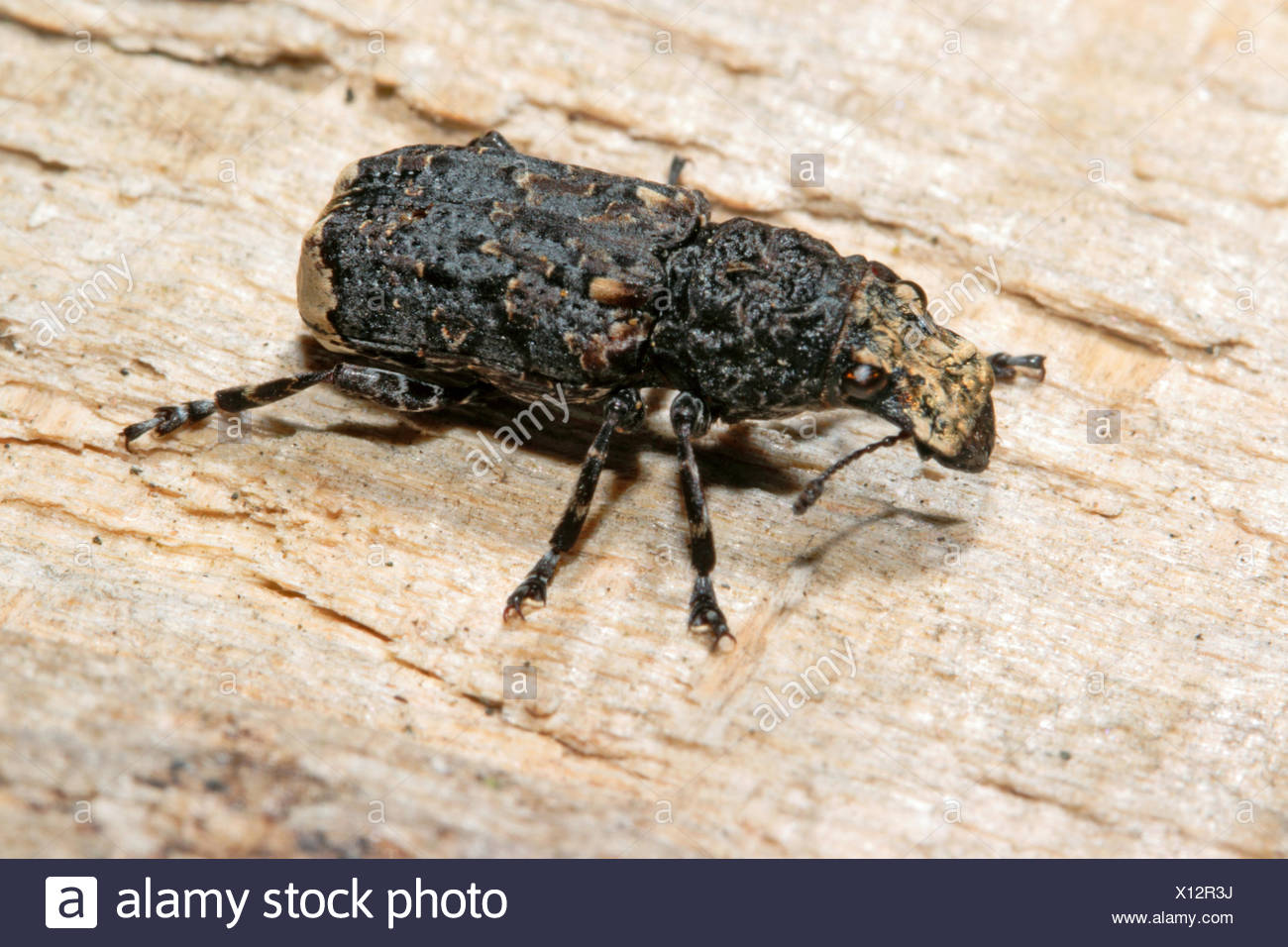 Fungus Beetle Stock Photos Amp Fungus Beetle Stock Images