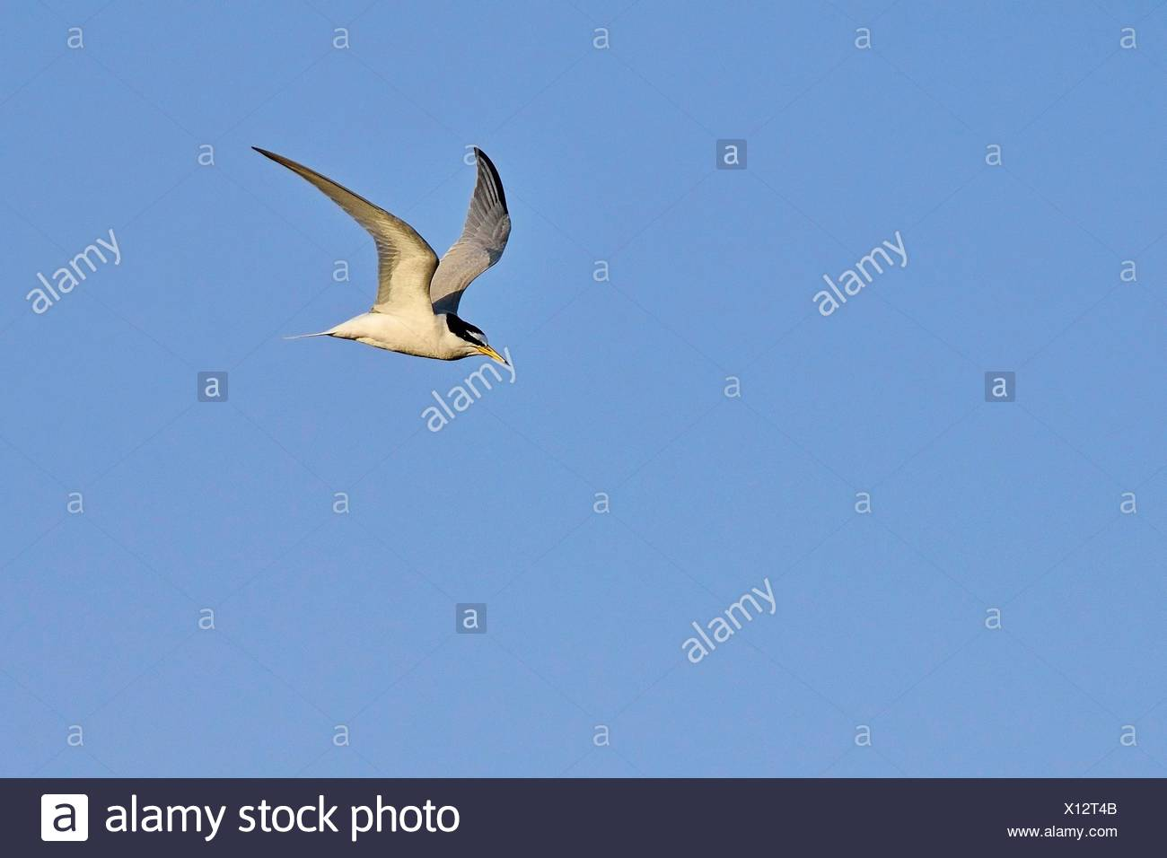 Little Tern - Sterna albifrons, Lesvos, Greece - Stock Image