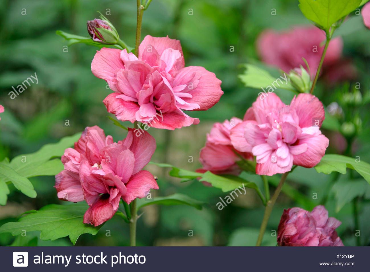 shrubby althaea, rose-of-Sharon (Hibiscus syriacus 'Freedom', Hibiscus syriacus Freedom), cultivar Freedom Stock Photo