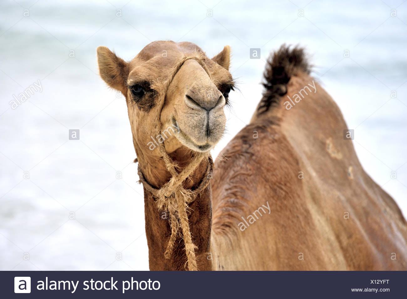 Observant Funny Camel - Stock Image