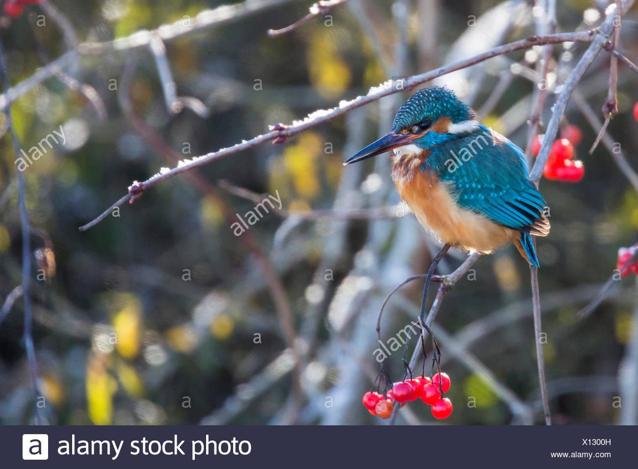 Eisvogel (Alcedo atthis), sitzt neben Beeren des Schneeball-Strauches, Deutschland, Bayern, Niederbayern | river kingfisher (Alc - Stock Image