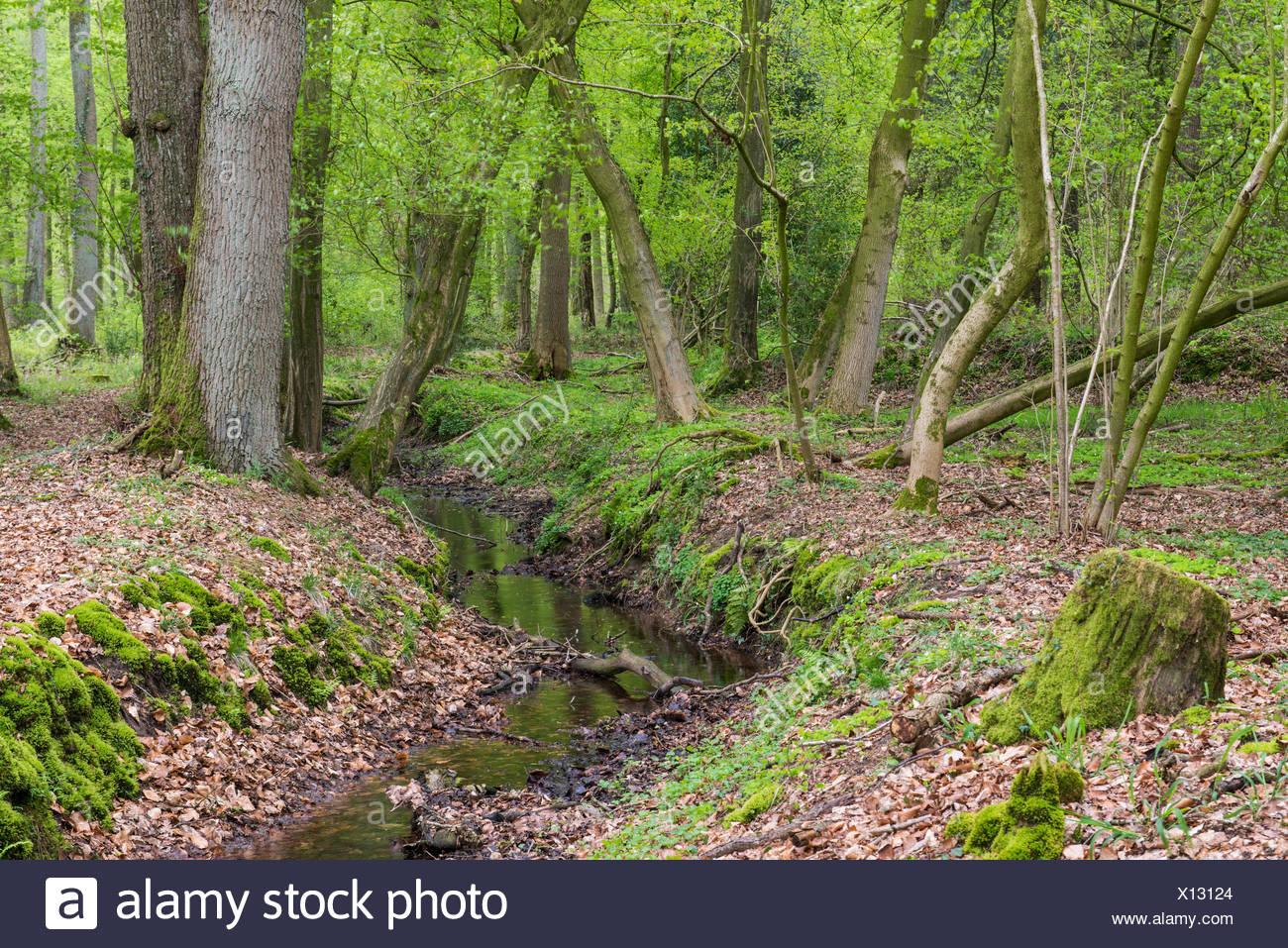 Laubwald, Herrenholz, Niedersachsen, Deutschland - Stock Image