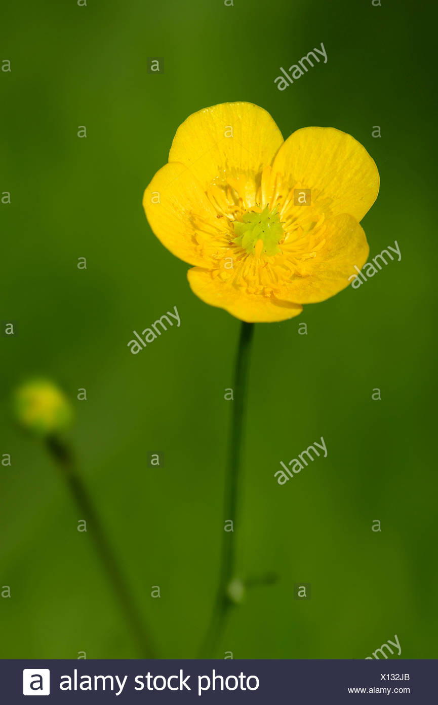 Meadow Buttercup or Tall Buttercup (Ranunculus acris), flower, North Rhine-Westphalia, Germany Stock Photo