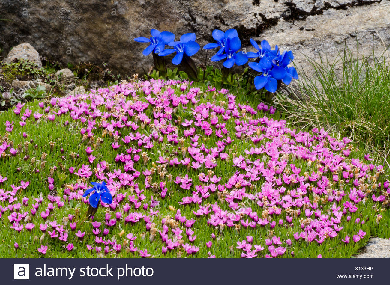 Moss Campion or Cushion Pink (Silene acaulis), Gamsgrube, Hohe Tauern National Park, Carinthia, Austria, Europe - Stock Image