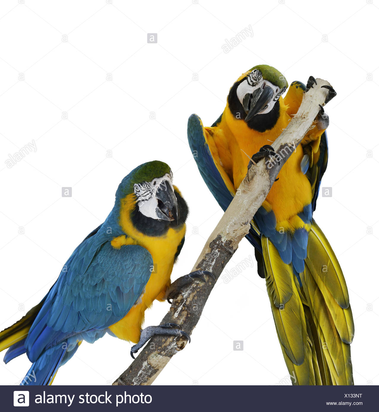 Parrots Cut Out Stock Images Pictures Alamy Parrot Origamiorigami Macaw Parrotorigami Diagram Blue Image
