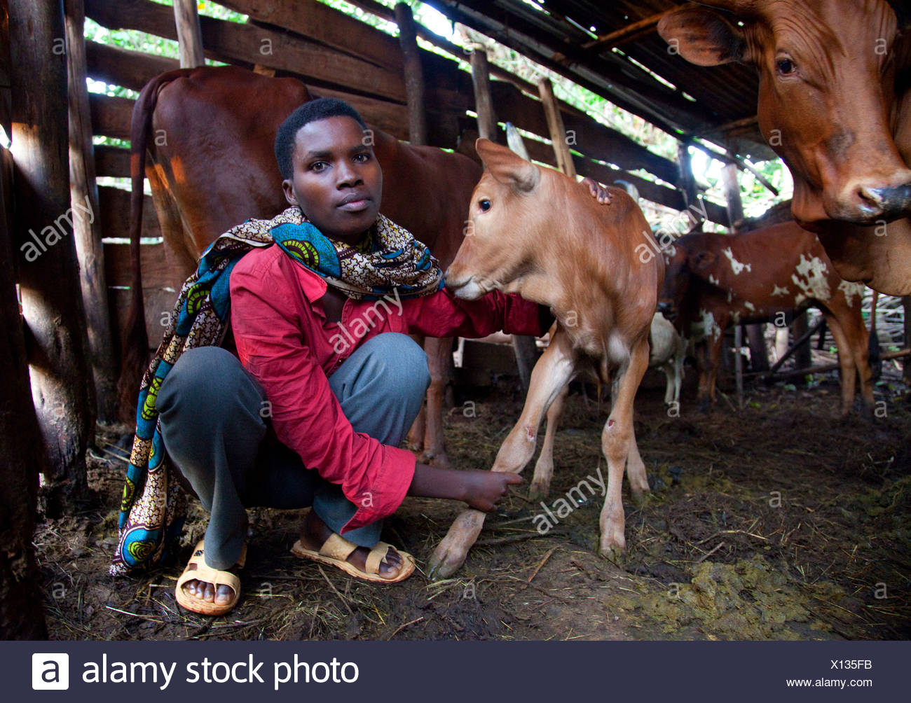 domestic cattle (Bos primigenius f. taurus), young woman in a humble cowshed taking care of a calf, Burundi, Cankuzo, Near National Parc de la Ruvubu, Cankuzo - Stock Image