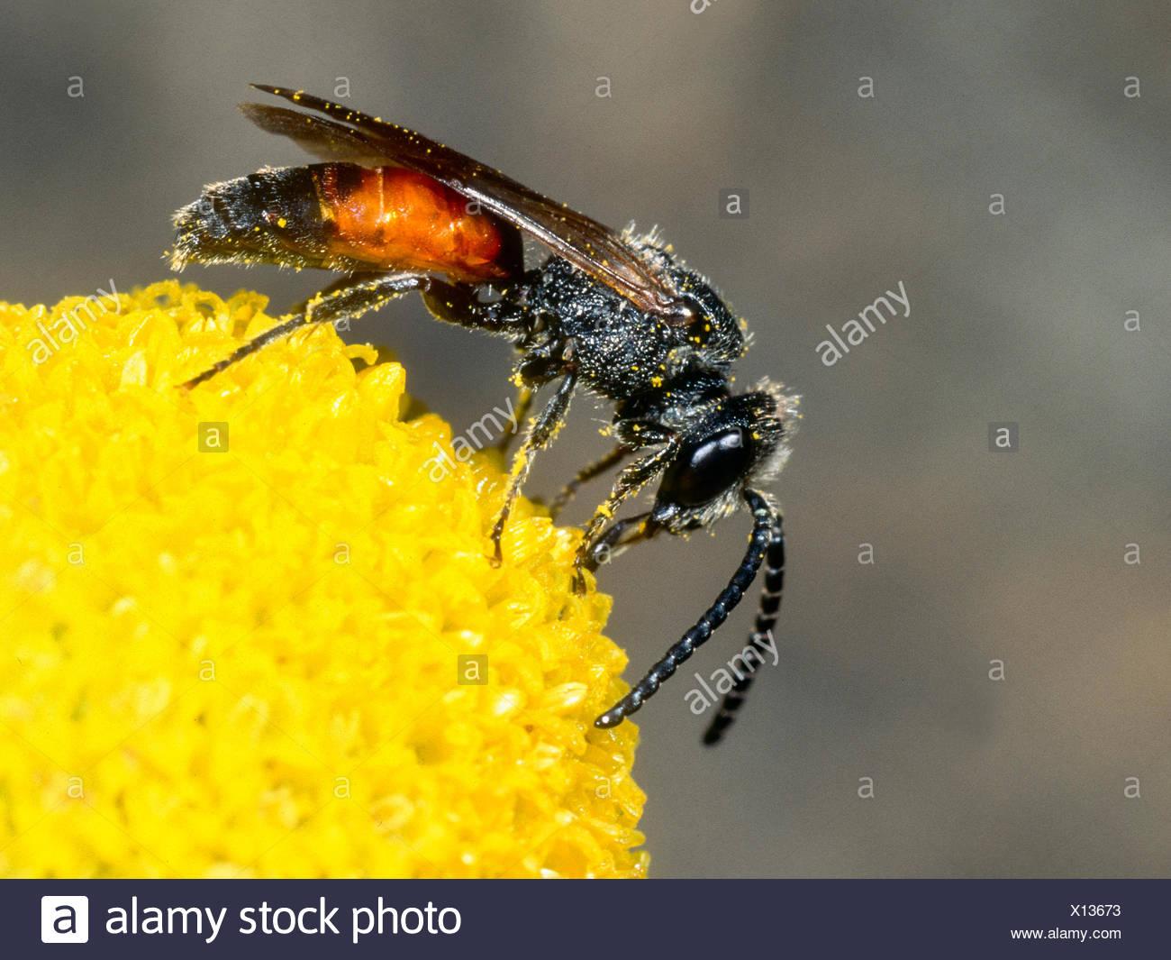 Blutbiene, Sphecodes reticulatus (Sphecodes reticulatus), Maennchen bei der Nektaraufnahme auf Echter Kamille (Matricaria chamom - Stock Image