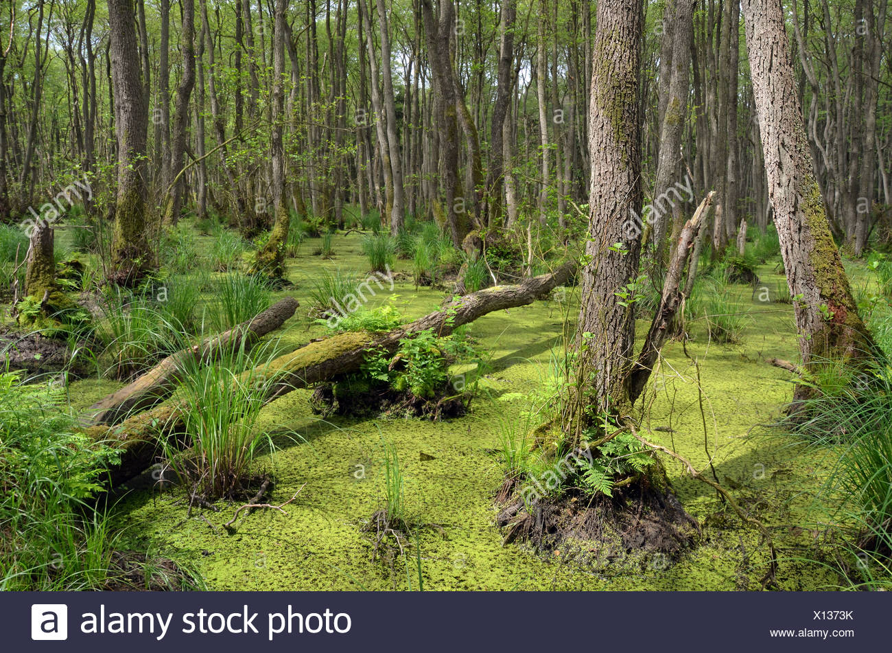 Swamp with a forest of Alder trees (Alnus glutinosa), Western Pomerania Lagoon Area National Park, Darss, Baltic Coast - Stock Image