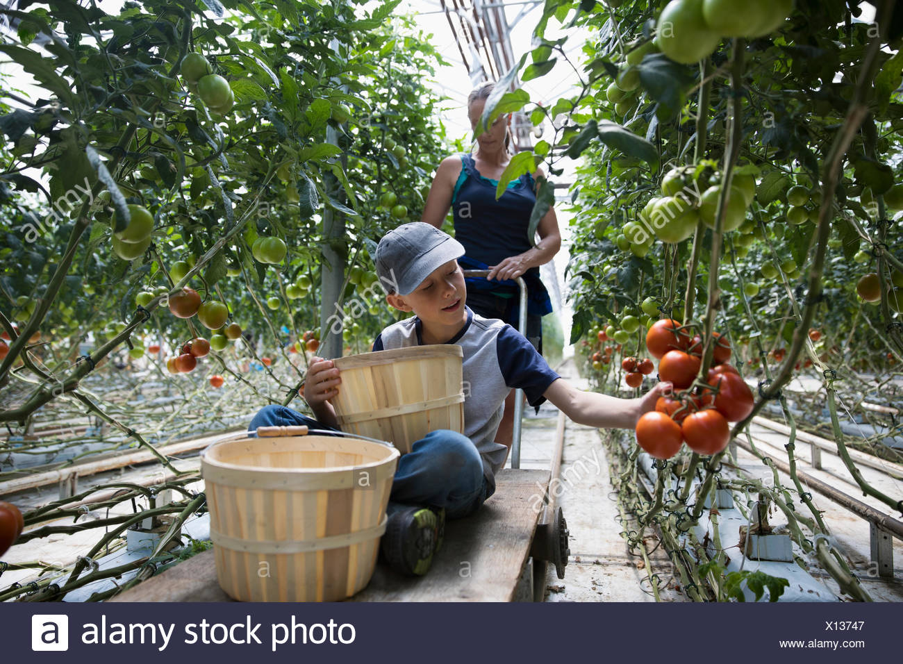 Boy with bushels harvesting tomatoes growing on tomato plant in greenhouse - Stock Image