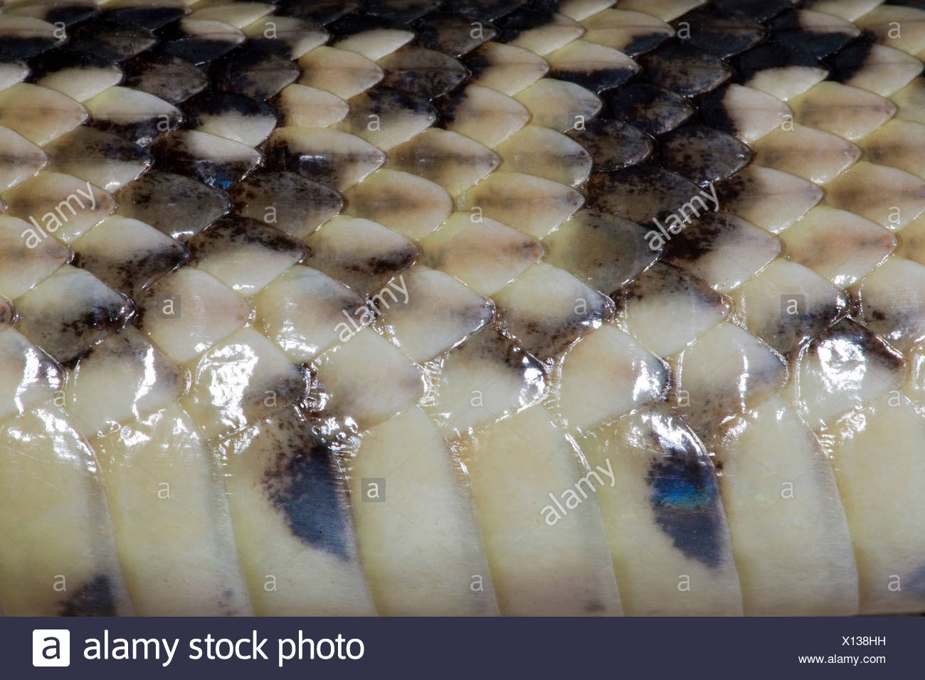 Road-killed bull snake (Pituophis catenifer sayi), detail of scales, lateral view, Pueblo West, Colorado. Stock Photo