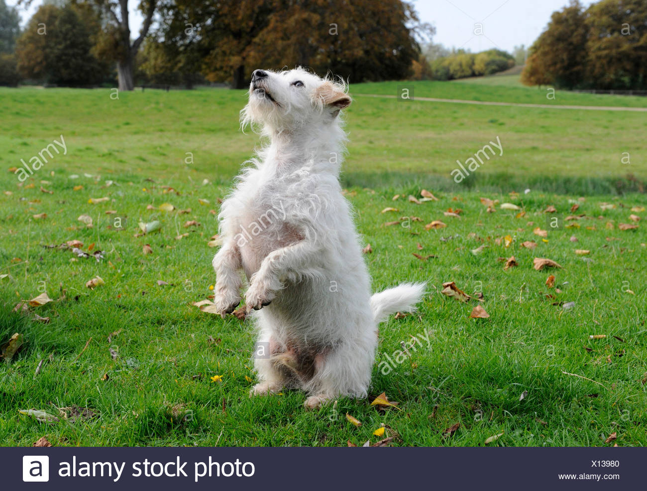 A small white old dog standing on two feet Stock Photo