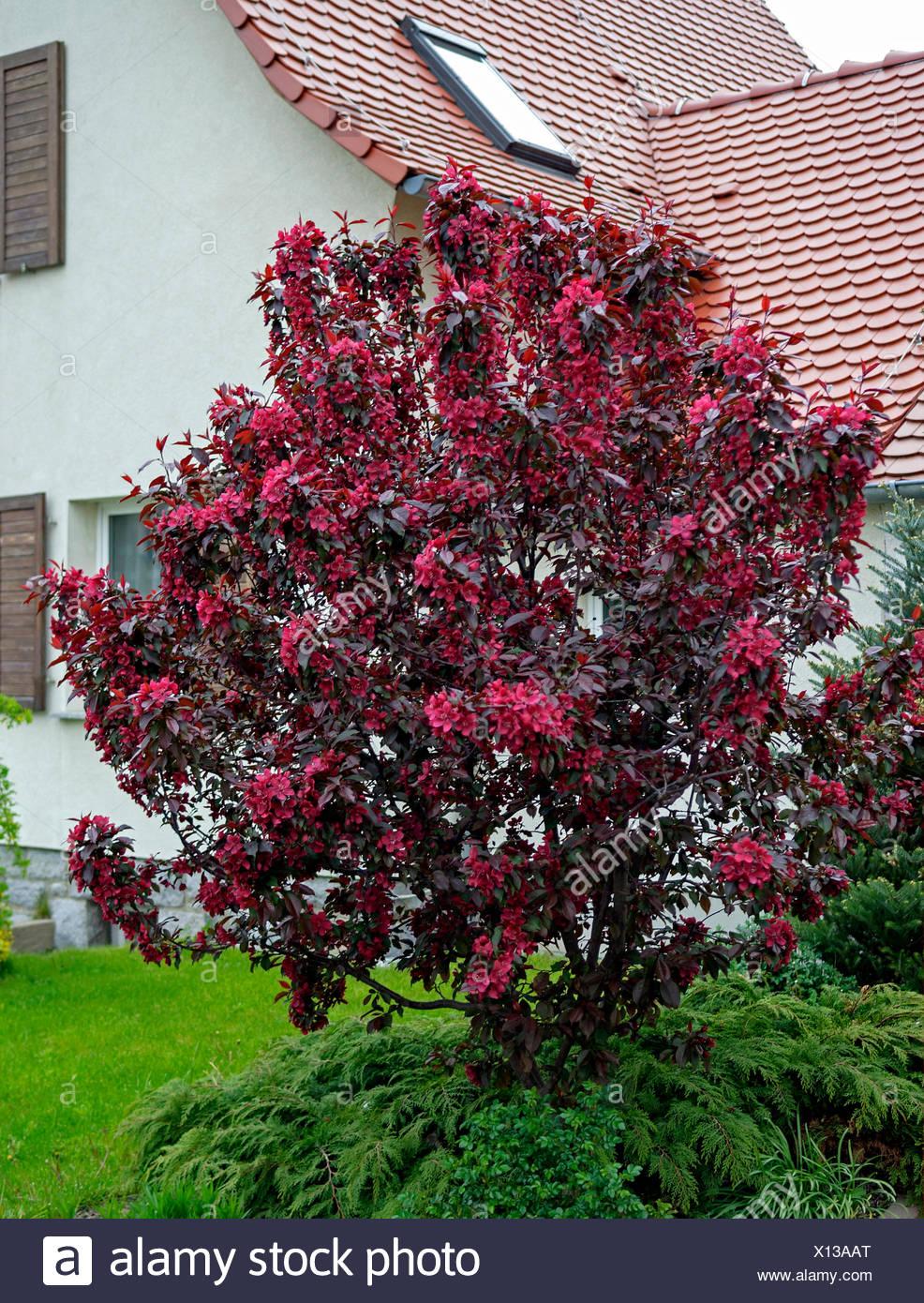 ornamental apple tree (Malus 'Royalty', Malus Royalty), cultiar Royalty, Germany Stock Photo