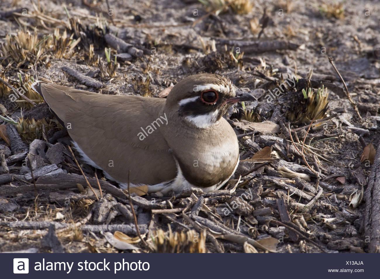 Bronzewinged Courser nest Kruger Nat Pk South - Stock Image