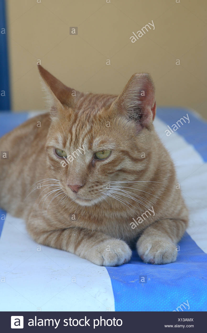 Cat red deck chair lie animal pet house-cat free-living mammal free-liver day bed roved know-blue resting lazes about silence - Stock Image