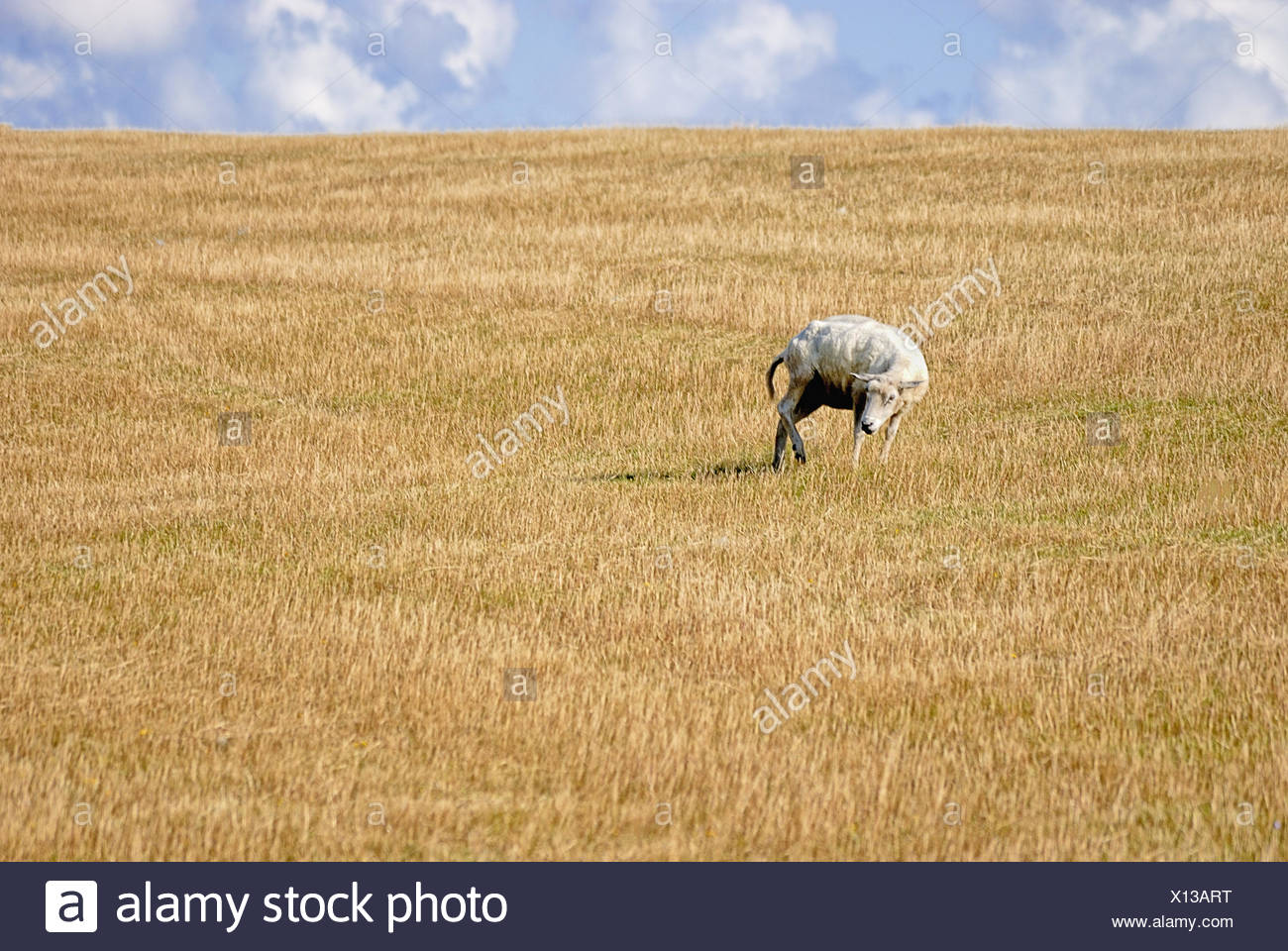 Schaf ohne Wolle - sheep without wool - Stock Image