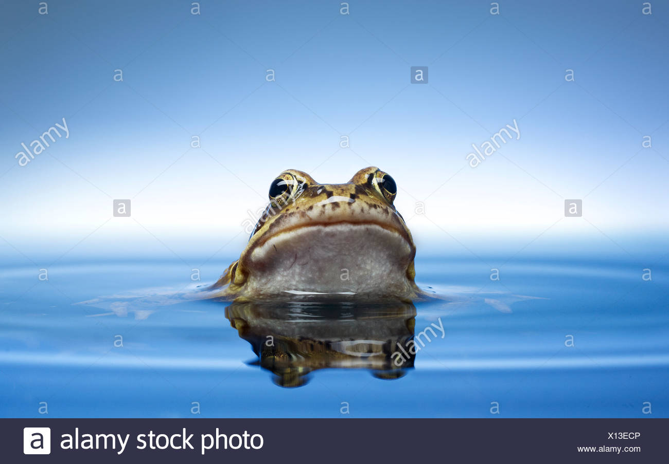 Frog peeking out of water - Stock Image
