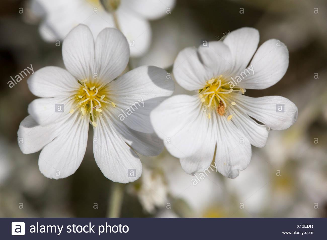 White flowers of a Snow-in-Summer plant (Cerastium tomentosum) - Stock Image