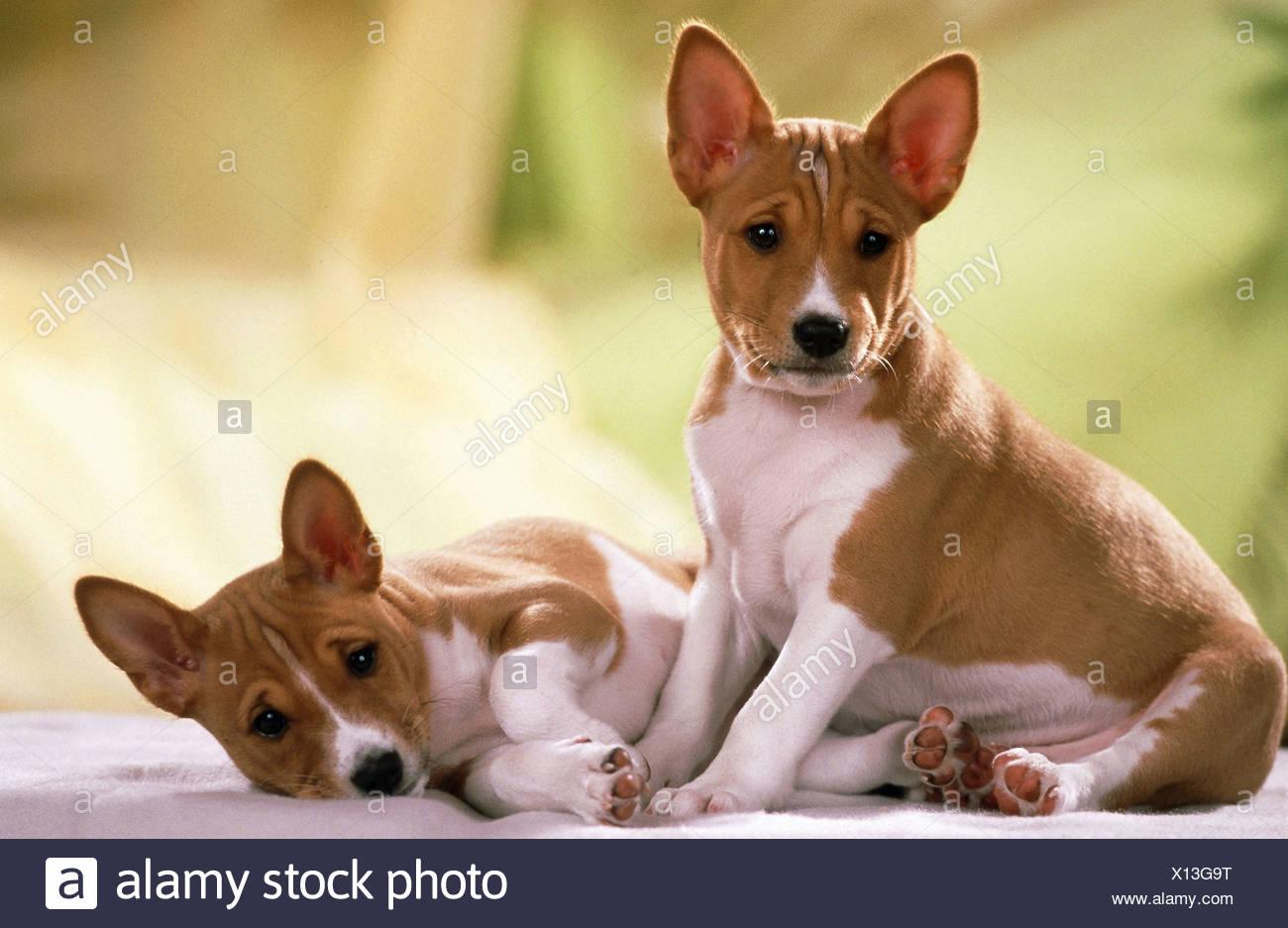 2 basenji puppies stock photo 276059220 alamy