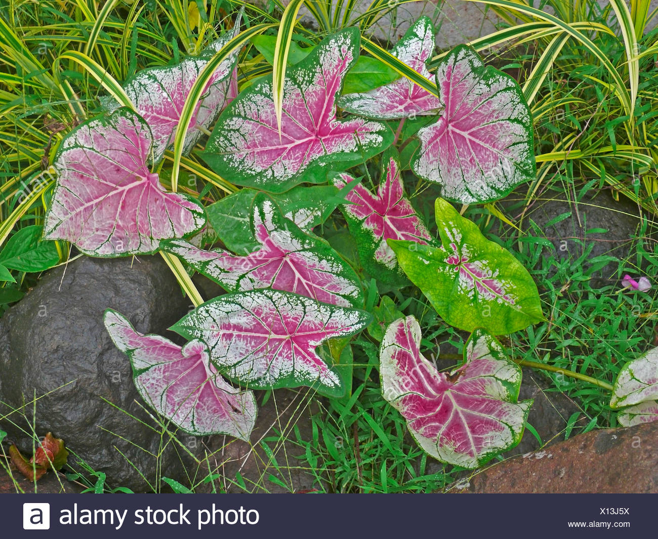 Fancy-Leaved Caladium, Caladium bicolor - Stock Image