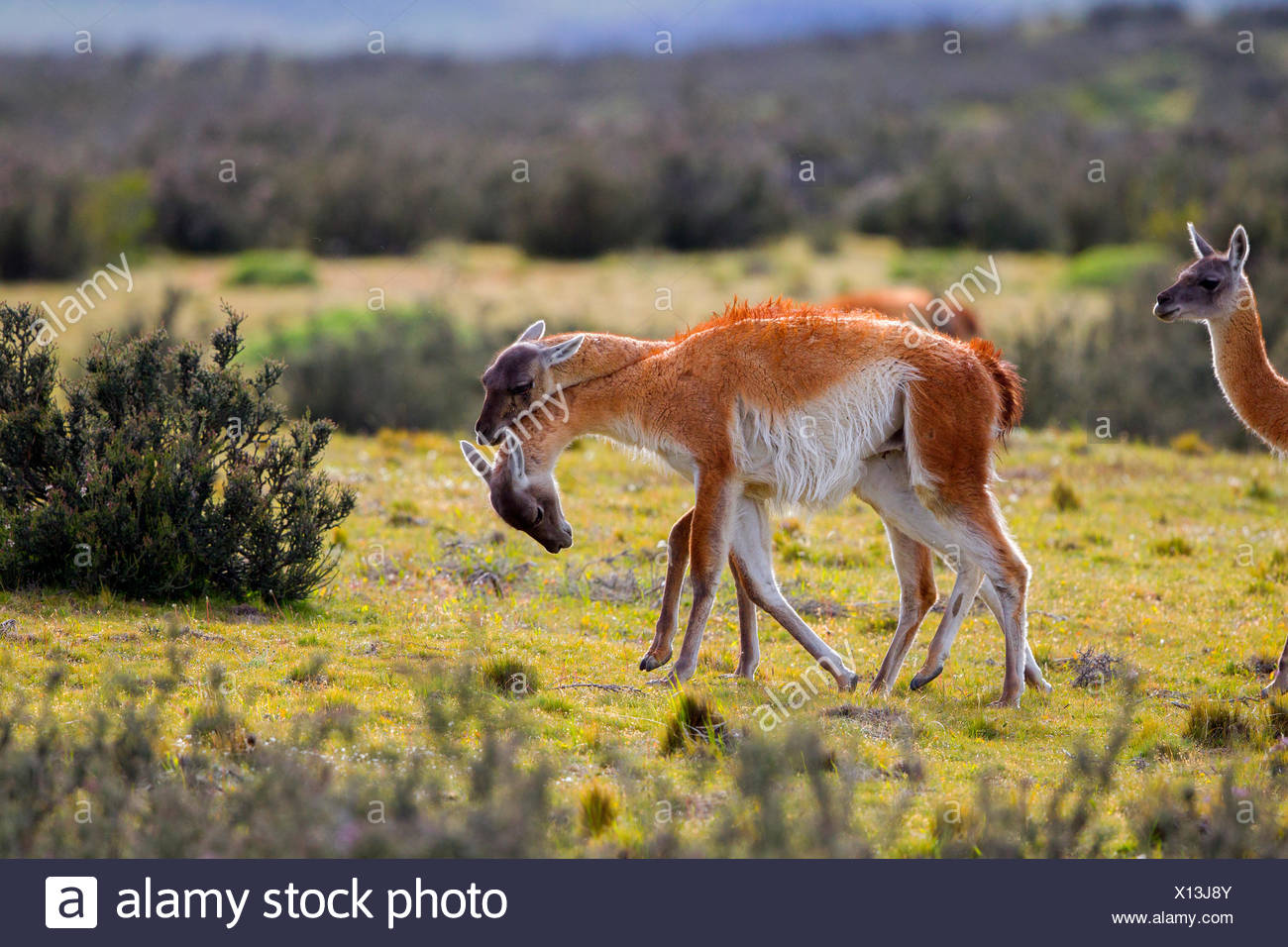Guanacos fighting in steppe - Torres del Paine Chile Stock Photo