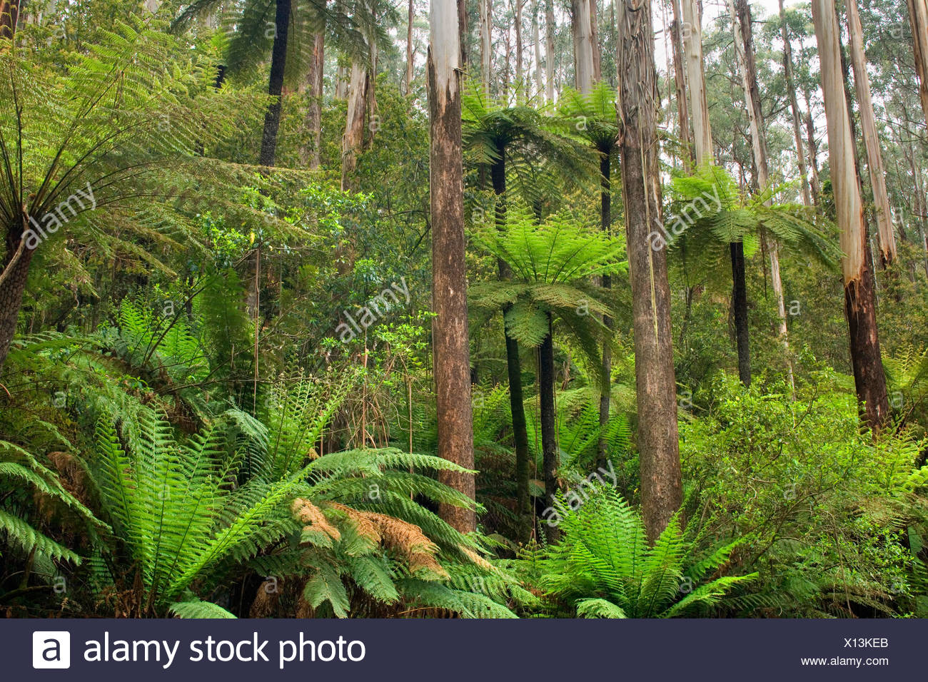 mountain ash, Victorian ash (Eucalyptus regnans), Wet Sclerophyll Forest, magnificent forest consisting of mainly Mountain Ash trees, Eucalyptus regnans, and impressive tree ferns and ground ferns as understory, Australia, Victoria, Yarra Ranges National Park - Stock Image