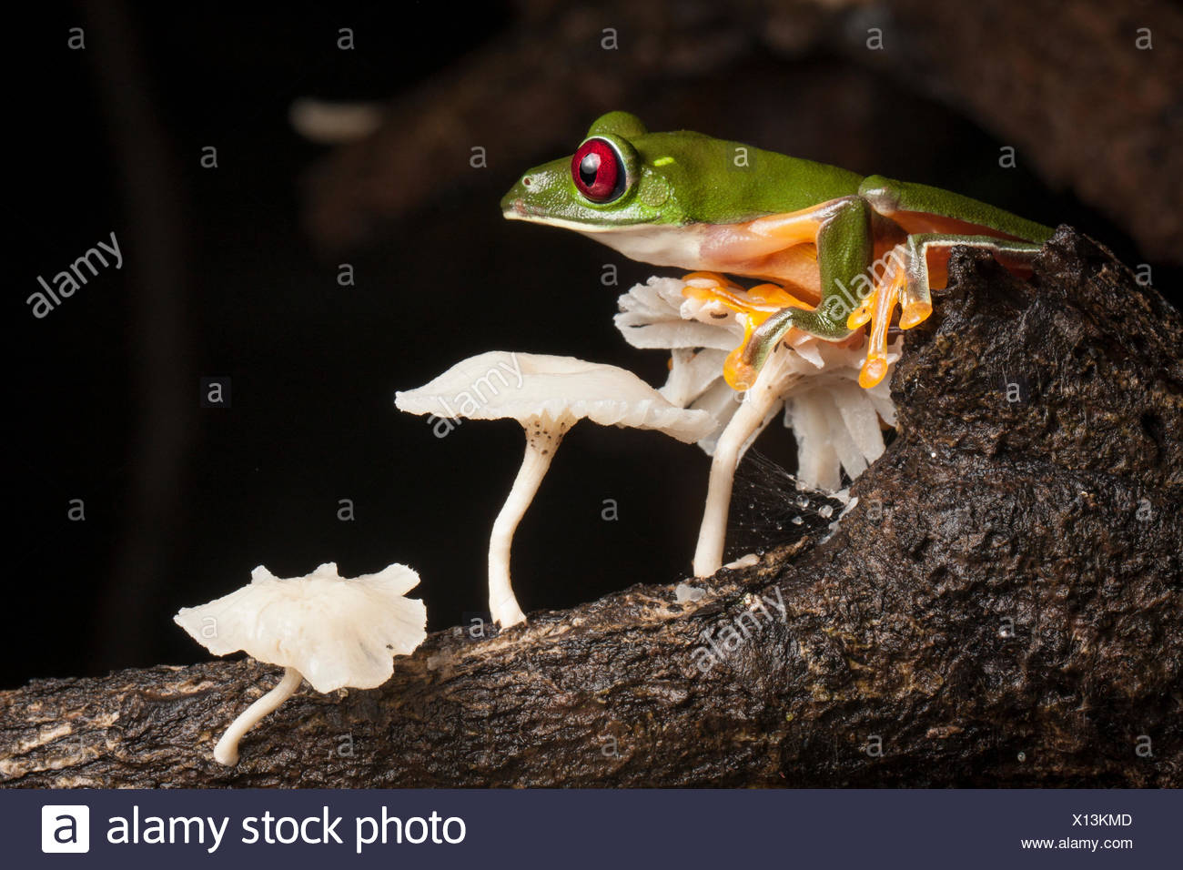 A gliding tree frog, Agalychnis spurrelli, with mushrooms. - Stock Image