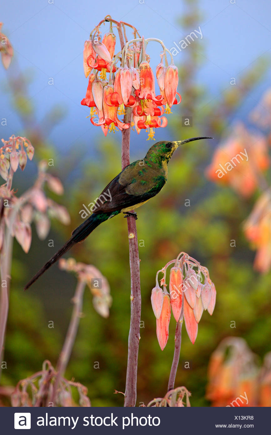 Malachite Sunbird, male, Oudtshoorn, Klein Karoo, South Africa / (Nectarinia famosa) - Stock Image