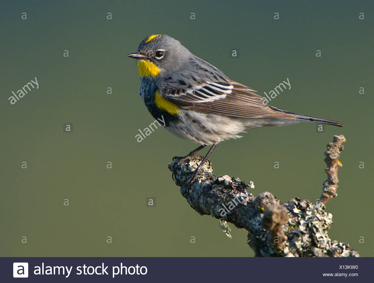Male Yellow-rumped warbler (Dendroica coronata) on Garry oak perch at Observatory Hill, Saanich, British Columbia, Canada - Stock Image